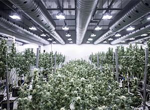 Why Pre-Engineered Steel Buildings Are the Best for Growing Marijuana