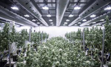 The Benefits of Choosing Steel for Marijuana Growing Facilities